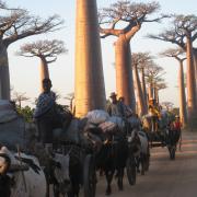 Allée des baobabs à MORONDAVA 2