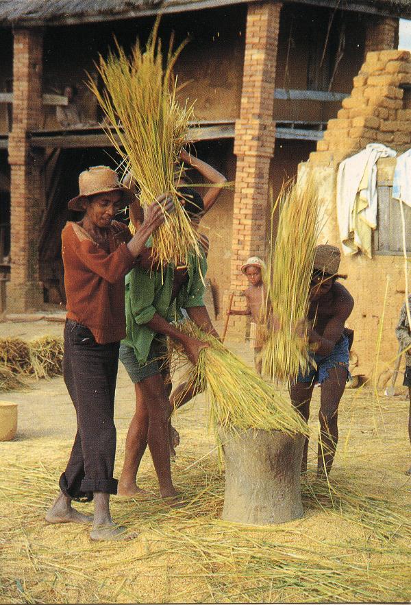 Egrenage du riz
