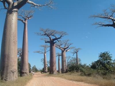 Allée des baobabs à MORONDAVA